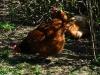 Мышкинский район. Деревня Мартыново. Курицы